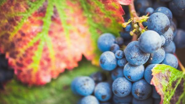 Агроном рассказал о коварстве винограда