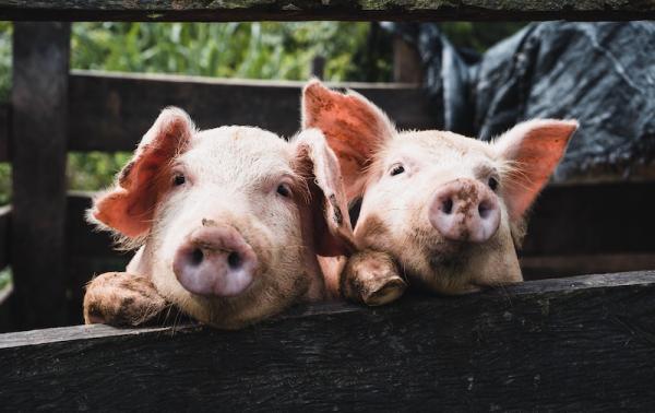 Свиной коронавирус заподозрили в угрозе человечеству